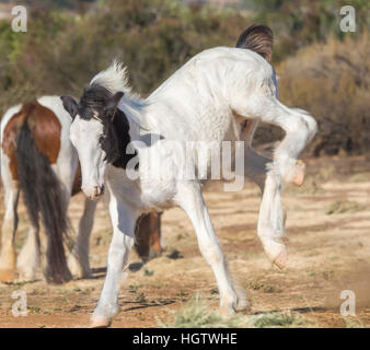 Gypsy Vanner Horse colt  weanling foal - Stock Photo