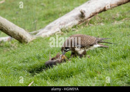Brown Falcon - feeding on dead wallaby Falco berigora Bruny Island Tasmania, Australia BI031161 - Stock Photo