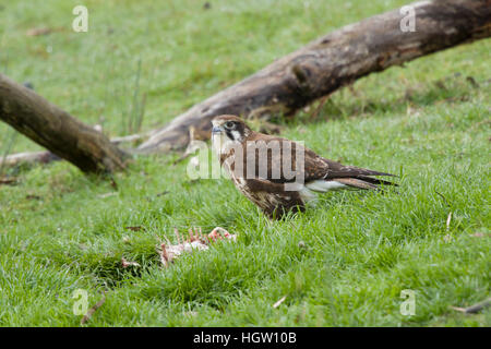 Brown Falcon - feeding on dead wallaby Falco berigora Bruny Island Tasmania, Australia BI031162 - Stock Photo