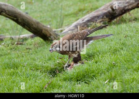 Brown Falcon - feeding on dead wallaby Falco berigora Bruny Island Tasmania, Australia BI031167 - Stock Photo