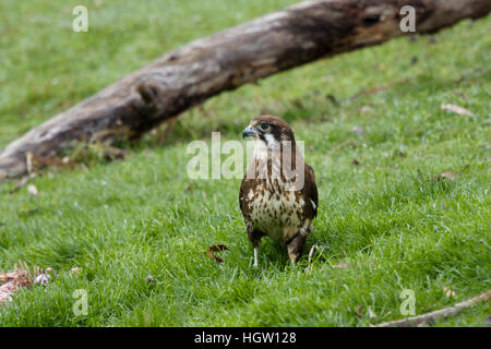 Brown Falcon - feeding on dead wallaby Falco berigora Bruny Island Tasmania, Australia BI031168 - Stock Photo