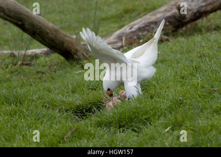 Grey Goshawk white morph - male feeding on dead wallaby Accipiter novaehollandiae Bruny Island Tasmania, Australia - Stock Photo
