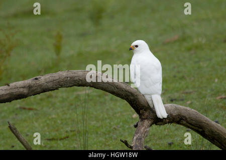 Grey Goshawk white morph - male Accipiter novaehollandiae Bruny Island Tasmania, Australia BI031182 - Stock Photo