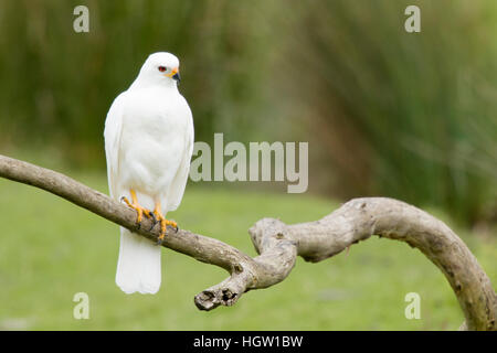 Grey Goshawk white morph - female Accipiter novaehollandiae Bruny Island Tasmania, Australia BI031186 - Stock Photo