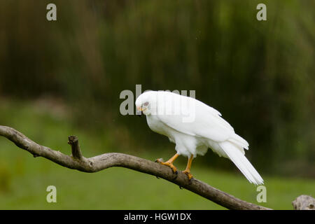 Grey Goshawk white morph - female Accipiter novaehollandiae Bruny Island Tasmania, Australia BI031190 - Stock Photo