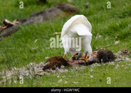 Grey Goshawk white morph - female feeding on dead possum Accipiter novaehollandiae Bruny Island Tasmania, Australia - Stock Photo