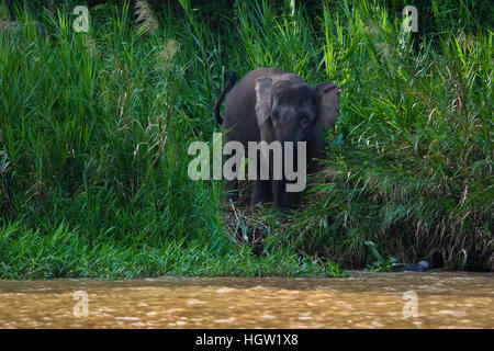 A Bornean Pygmy Elephant, Elephas Maximus Borneensis, Browses Along The Shore In The Kinabatangan River Wildlife - Stock Photo