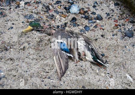 duck murdered by bird flu - Stock Photo