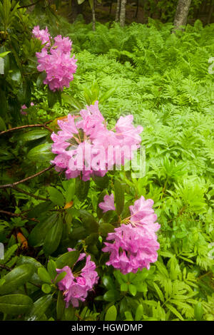 Rhododendrons at Thuya Gardens in Northeast Harbor, Maine. - Stock Photo