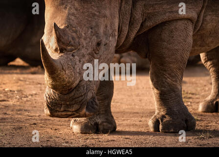 Aggressive looking horned male white rhino close-up with head close to the ground in Mantobeni game reserve South - Stock Photo
