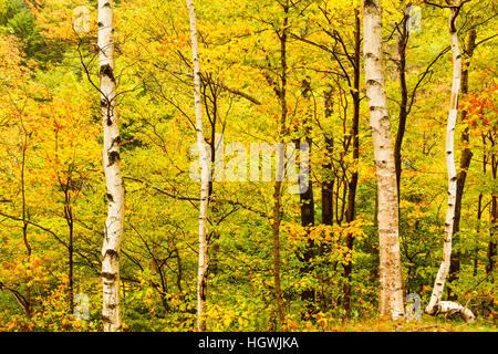 Paper birch trees in New Hampshire's Crawford Notch State Park. White Mountains. - Stock Photo