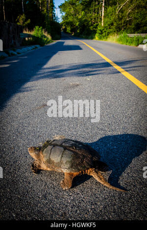 A snapping turtle, Chelydra serpentina, crosses a road in Plymouth, Massachusetts. - Stock Photo