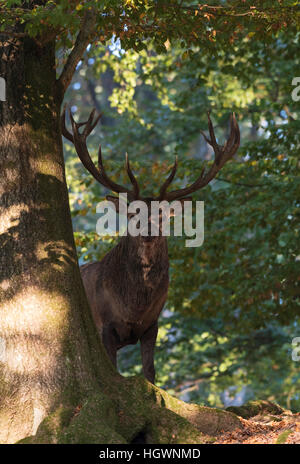 Red deer (Cervus elaphus) in deciduous forest, Vulkaneifel, Rhineland-Palatinate, Germany - Stock Photo