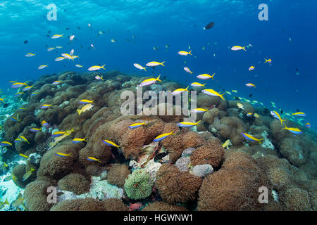 Yellowback fusiliers (Caesio xanthonotus) swimming over Goniopora coral (Goniopora lobata), Lhaviyani Atoll, Maldives - Stock Photo