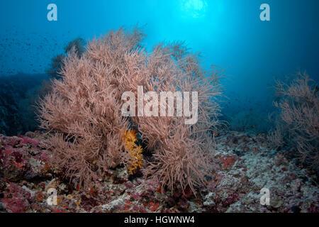 Coral reef with black coral (Antipathes sp.) Lhaviyani Atoll, Maldives - Stock Photo