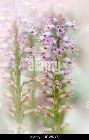 The delicate purple flowers of  the Lachenalia pustulata plant commonly known as the blistered Cape cowslip. - Stock Photo