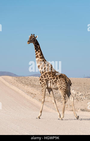 Lone Reticulated Giraffe High-Res Stock Photo - Getty Images