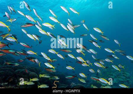 School of yellowback fusiliers (Caesio xanthonota) and neon fusiliers (Pterocaesio tile), swimming over coral reef - Stock Photo