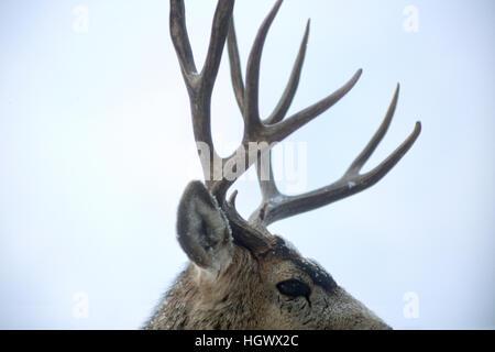 Wild mule deer buck in snow, colorado - Stock Photo