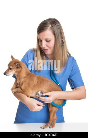 Young female vet examining dog by stethoscope - Stock Photo