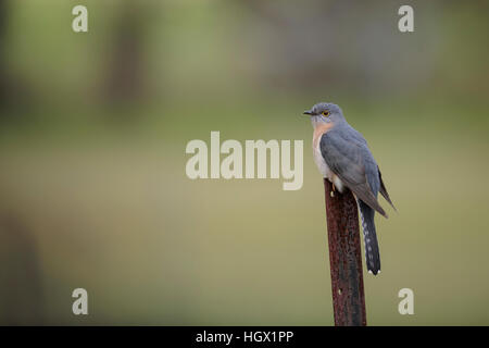 Fan Tailed Cuckoo (cacomantis flabelliformis) - Australia - Stock Photo
