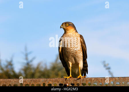 Eurasian Sparrowhawk Accipter nisus adult male perched - Stock Photo
