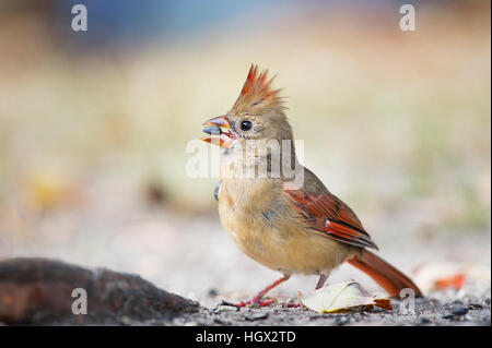A female Northern Cardinal holds a seed in its beak as it eats on the ground - Stock Photo