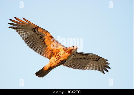A Red-tailed Hawk flies overhead as the first morning sun shines on its body. - Stock Photo
