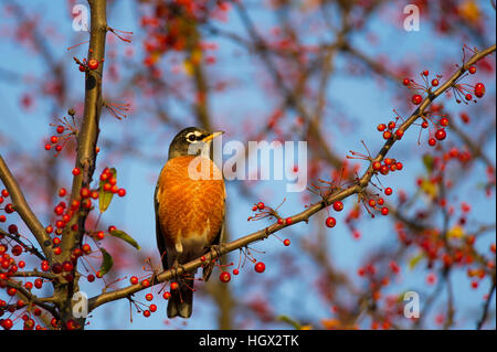 An American Robin perches on a branch full of red berries as the early morning sun shines on. - Stock Photo