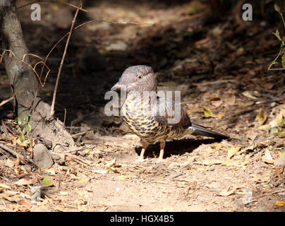 Bird, Cuckoo Roller, Parc National De L'Isalo, Madagascar - Stock Photo