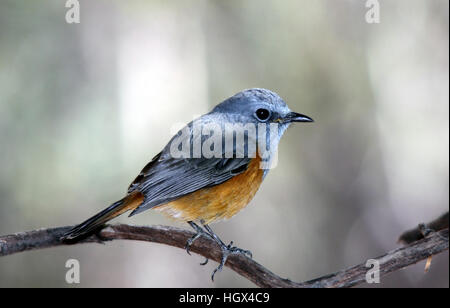 Bird, Benson's Rock Thrush, Parc National de L'Isalo, Madagascar - Stock Photo
