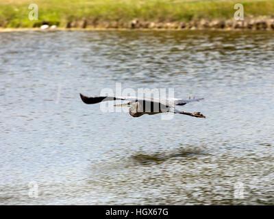 Great blue heron, Ardea herodias, flying over water, Sanibel Island, Florida, USA - Stock Photo
