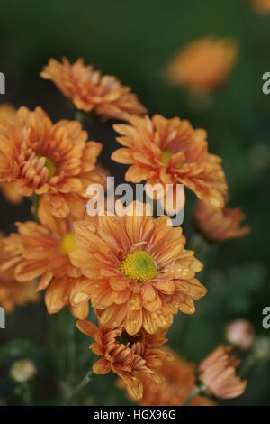 Chrysanthemum 'Bronze Enbee Wedding' - Stock Photo