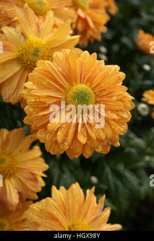Chrysanthemum 'Orange Enbee Wedding' - Stock Photo