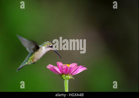A female Ruby-throated Hummingbird hovers over this bright pink Zinnia flower while feeding. - Stock Photo