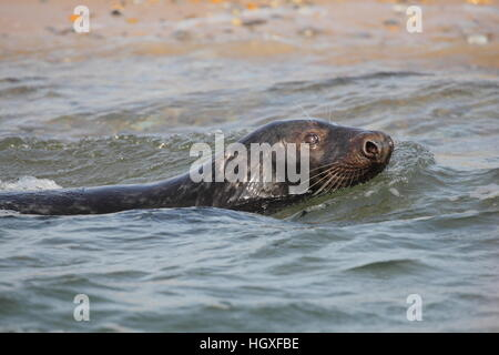 Atlantic Grey Seal (Halichoerus grypus), male swimming in the sea by a Norfolk breeding beach - Stock Photo