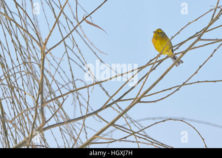 Yellow Warbler (female) in winter time - Stock Photo