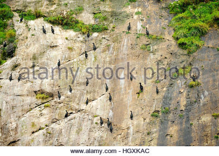 Pelagic cormorants cling to a cliff face in Glacier Bay National Park, Alaska. - Stock Photo
