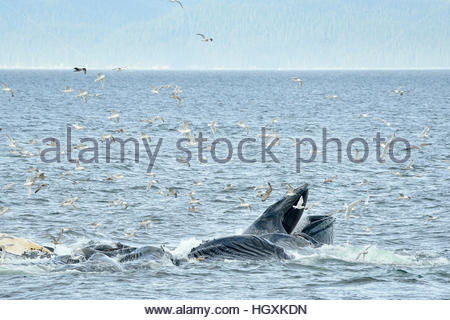 Humpback whales bubble net feeding in the waters near Catherine Island, Alaska. - Stock Photo