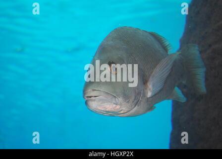 close up of bar jack fish swimming in the Caribbean ocean - Stock Photo