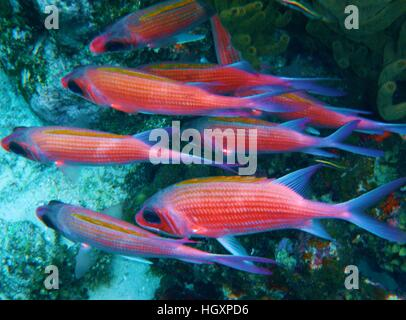 red snapper fish swimming in the Caribbean ocean - Stock Photo