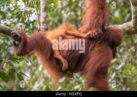 Female orangutan with baby - Stock Photo