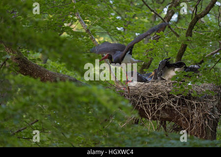 Black Stork ( Ciconia nigra ), adult, leaving its eyrie, nest, after feeding its chicks, its offspring, taking off, - Stock Photo