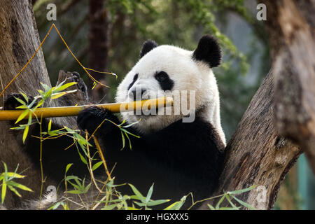 Panda bear eating bamboo at Madrid Zoo Aquarium - Stock Photo