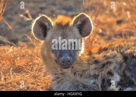 A sunlit hyena cub, peering suspiciously at me. Kruger National Park, Mpumalanga - Stock Photo