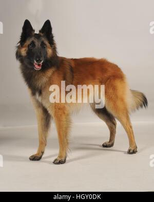 belgian shepherd tervuren - Stock Photo