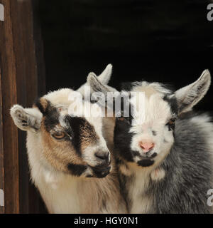 pygmy goat kids - Stock Photo