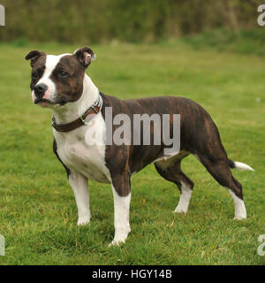 staffordshire bull terriers - Stock Photo