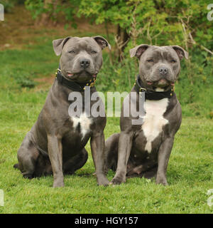 staff bull terriers - Stock Photo