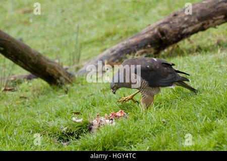 Brown Goshawk - feeding on dead possum Accipiter fasciatus Bruny Island Tasmania, Australia BI031235 - Stock Photo